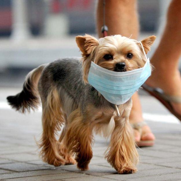Canine Coronavirus test kit